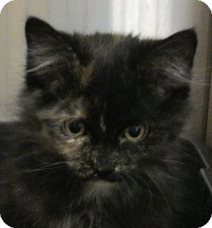 Domestic Mediumhair Kitten for adoption in Pueblo West, Colorado - Torry