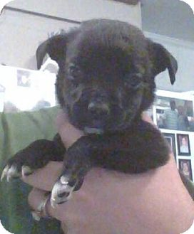 Chihuahua/Terrier (Unknown Type, Medium) Mix Puppy for adoption in Macon, Georgia - Leonard