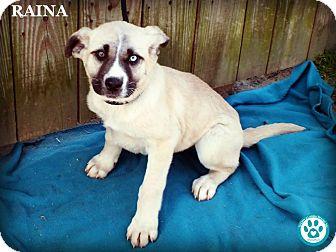 Labrador Retriever Mix Puppy for adoption in Kimberton, Pennsylvania - Raina