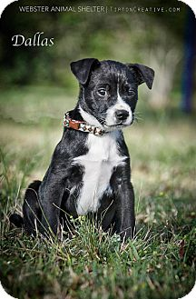 Chihuahua Mix Puppy for adoption in Webster, Texas - Dallas