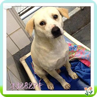 Labrador Retriever Mix Dog for adoption in Lewisville, Indiana - JD