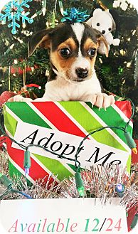 Rat Terrier Mix Puppy for adoption in Fredericksburg, Texas - Cobra