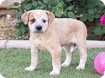 Australian Cattle Dog/Spaniel (Unknown Type) Mix Puppy for adoption in Chandler, Arizona - Frenchie