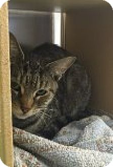 Domestic Shorthair Cat for adoption in Manchester, Connecticut - Cookie