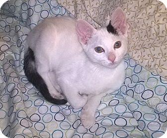 Domestic Shorthair Kitten for adoption in Brea, California - TURK