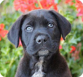 German Shepherd Dog/Labrador Retriever Mix Puppy for adoption in Thousand Oaks, California - Edward von Maysie