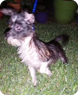 Yorkie, Yorkshire Terrier/Chihuahua Mix Dog for adoption in Houston, Texas - CHAZ (pending)