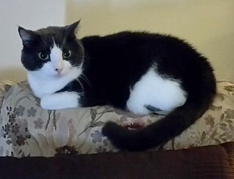 Domestic Shorthair Cat for adoption in Cranston, Rhode Island - Peekaboo
