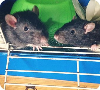 Rat for adoption in Lindsay, Ontario - Titus