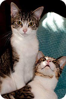 Bengal Cat for adoption in Huntsville, Alabama - Bo & Bennigan