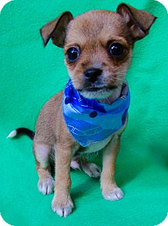 Chihuahua/Terrier (Unknown Type, Small) Mix Puppy for adoption in Irvine, California - Monroe