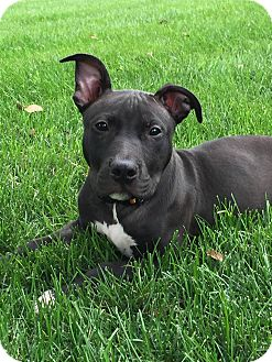 Pit Bull Terrier Mix Dog for adoption in Middletown, Ohio - Rock