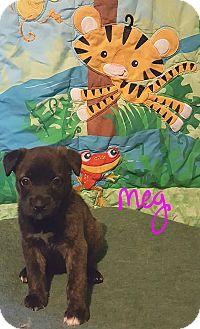 Boxer/German Shepherd Dog Mix Puppy for adoption in Burlington, Vermont - Meg