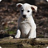 Adopt A Pet :: Fancie - South Dennis, MA