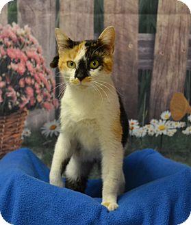 Calico Cat for adoption in Lebanon, Missouri - Lulu
