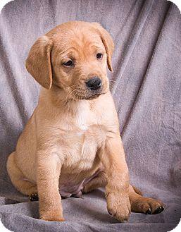 Labrador Retriever/Boxer Mix Puppy for adoption in Anna, Illinois - QUITA