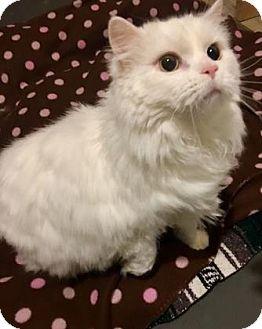 Persian Cat for adoption in Fairfax, Virginia - Simon