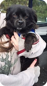 Pomeranian/Terrier (Unknown Type, Small) Mix Dog for adoption in Kirkland, Washington - Chase-