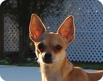 Chihuahua/Jack Russell Terrier Mix Dog for adoption in Weeki Wachee, Florida - Chia