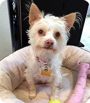 Silky Terrier Mix Dog for adoption in Portland, Oregon - Dakota