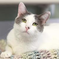Domestic Shorthair/Domestic Shorthair Mix Cat for adoption in Kyle, Texas - TAAZEN