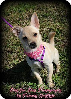 Pomeranian/Chihuahua Mix Puppy for adoption in Lodi, California - Venus