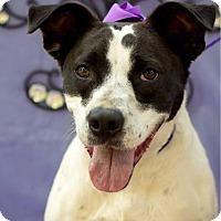 Pointer/Rat Terrier Mix Dog for adoption in Ruston, Louisiana - Parish