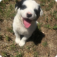 Adopt A Pet :: *LACEY* - Weatherford, TX
