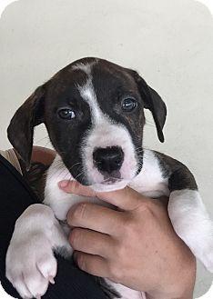 Bull Terrier/Hound (Unknown Type) Mix Puppy for adoption in Philadelphia, Pennsylvania - Dimitri