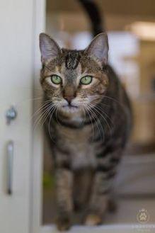 Domestic Shorthair/Domestic Shorthair Mix Cat for adoption in Kennewick, Washington - Qui
