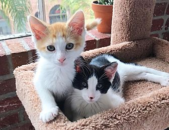 Domestic Shorthair Kitten for adoption in Los Angeles, California - Peaches (bonded to Poppy)