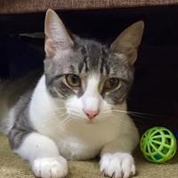 Adopt A Pet :: Collins - Ann Arbor, MI