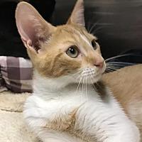 Adopt A Pet :: GALACTICAT - Ocala, FL