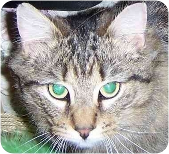 Maine Coon Cat for adoption in Medford, Massachusetts - Mimzy