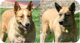 German Shepherd Dog/Blue Heeler Mix Dog for adoption in Gilbert, Arizona - GYPSY & LADY