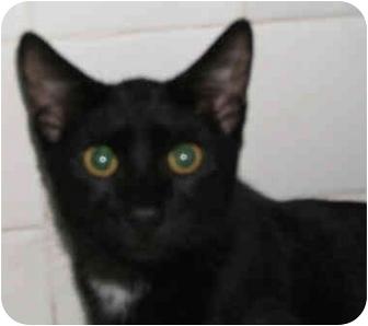 American Shorthair Kitten for adoption in New York, New York - Loving Lucy