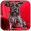 Photo 2 - Miniature Schnauzer Dog for adoption in Anna, Illinois - LOLA