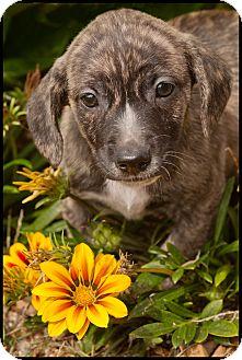 Beagle Mix Puppy for adoption in Westfield, New York - Nox