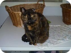 Domestic Shorthair Cat for adoption in Hamburg, New York - Zazzy