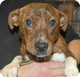 Terrier (Unknown Type, Medium) Mix Puppy for adoption in Brooklyn, New York - Mojito