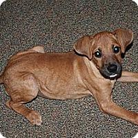Adopt A Pet :: Brownee - Westfield, IN