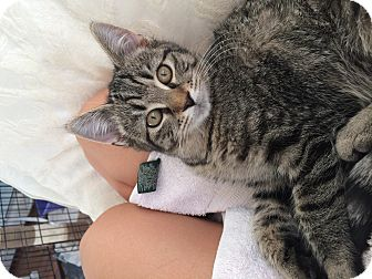 Domestic Shorthair Kitten for adoption in Randolph, New Jersey - Fluffy & Chunky-sweet