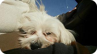Maltese Mix Dog for adoption in Brooklyn, New York - Bobby