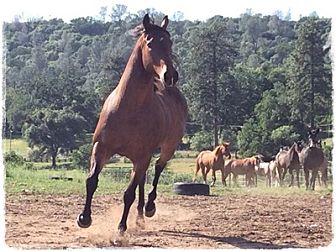Quarterhorse/Appendix Mix for adoption in Sac, California - Bullwinkle