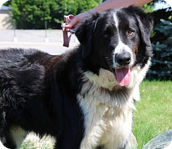 Bernese Mountain Dog/Border Collie Mix Dog for adoption in Elyria, Ohio - Max