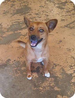 Spitz (Unknown Type, Medium) Mix Dog for adoption in Arkadelphia, Arkansas - Mason
