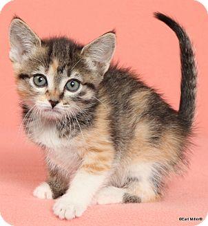 Domestic Shorthair Cat for adoption in Las Vegas, Nevada - Zahina