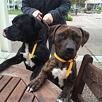Pit Bull Terrier Dog for adoption in Hayward, California - Elliot and Brownie