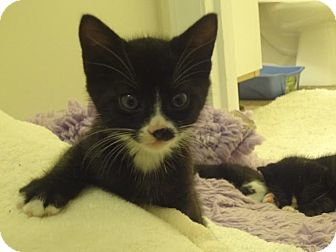 Domestic Shorthair Kitten for adoption in Parkton, North Carolina - Ceiling Drop