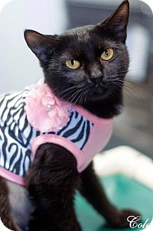 Domestic Shorthair Cat for adoption in Manahawkin, New Jersey - Cole